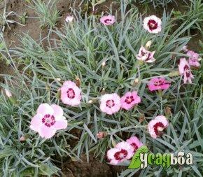 gvozdika-travyanka