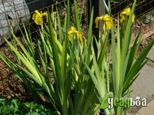 iris-bolotnyj-variegata