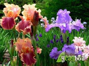 iris-gibridnyj