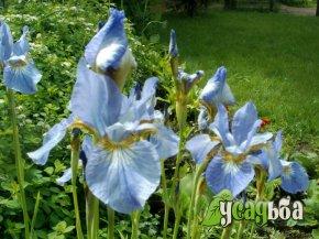 iris-sibirskij