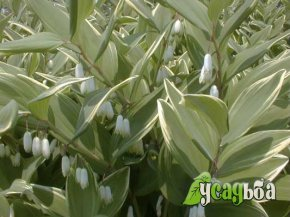 kupena-variegatum