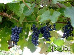 vinograd-s-edobnyj