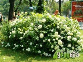 gortenziya-drevovidnaya
