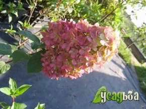 gortenziya-metelchataya