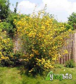 kerriya-yaponskaya