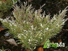 mozhzhevelnik-andora-compacta-variegata