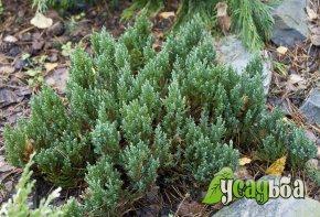 mozhzhevelnik-gorizontalnyj-blue-forest