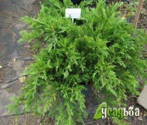 mozhzhevelnik-kazatskij-tamariscifolia