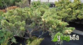 mozhzhevelnik-kazatskij-variegata