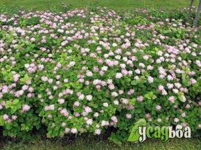 spireya-densiflora-gustotsvetkovaya