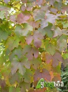 vinograd-amurskij